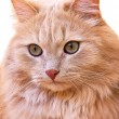 Close up portrait of a red cat — 图库照片