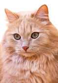 Close up portrait of a red cat — Stock Photo