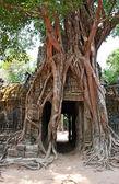 гигантские дерево, растущее на древние руины — Стоковое фото