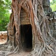 图库照片: Giant tree growing over ruins of TProhm temple in Angkor W