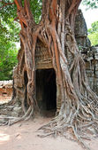 Giant tree growing over the ruins of Ta Prohm temple in Angkor W — Zdjęcie stockowe