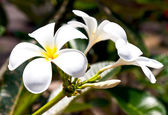 Beautiful white frangipani flowers — Stockfoto