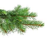 圣诞节树的分支 — 图库照片