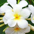 Stock Photo: Beautiful white frangipani flowers