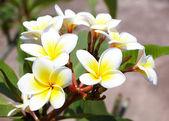 Piękny biały frangipani kwiaty — Zdjęcie stockowe