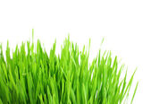 Green grass isolated on a white background — Stockfoto