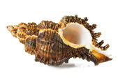 Seashell  on a white background — Stock Photo