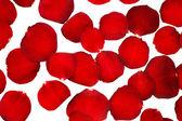 Rote rosenblüten, isoliert auf weiss — Stockfoto