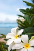 Plumeria çiçekler — Stok fotoğraf
