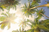 Coconut palm trees — Foto Stock