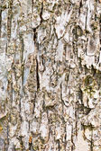 Old tree bark texture — Stock Photo