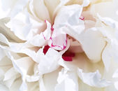 White petal peony background — Stock Photo