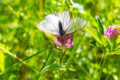 Beautiful white butterfly — Stock Photo