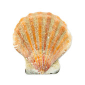 Seashell isolated on a white background — Stock Photo