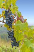 Hrozny na vinici — Stock fotografie