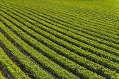 Campo de verduras — Foto de Stock