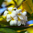 Frangipani Temple tree flower — Stock Photo