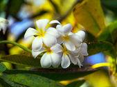 Frangipani Temple tree flower — Stock Photo