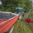 Stock Photo: Wine grape harvesting
