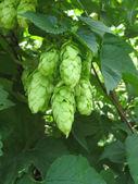 Hop cones close up — Stock Photo