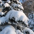Winter. Snow-capped fir twigs — Stock Photo