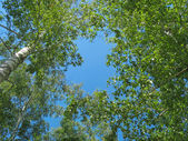 Birch tops against blue sky background — Stock Photo