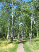 Path in a birch grove. Summer landscape. — Stock Photo