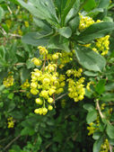 Blossoming flowers of barberry — Stock Photo