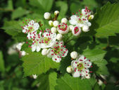 Melting flowers of hawthorn with red stamen — Stok fotoğraf