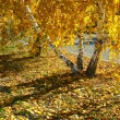 Autumn. Golden birches — Stock Photo