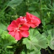 Red geranium (Pelargonium zonale) — Stock Photo