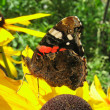 Red Admiral butterfly on rudbeckia flower (Vanessa Atalanta) — Stock Photo #26785427