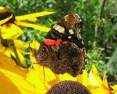 Red Admiral butterfly on rudbeckia flower (Vanessa Atalanta) — Stock Photo