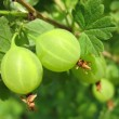 Two green gooseberries on twig. Macro — Stock Photo #29456847