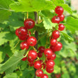 Stock Photo: Red currant twig against on a bush
