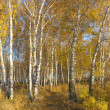Path in a gold birch grove. Autumn landscape. — Stock Photo