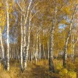 Path in a gold birch grove. Autumn landscape. — Stockfoto