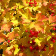 Colors of autumn. Yellow and red leaves of viburnum — Photo