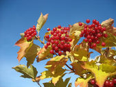 Viburnum bunch against blue sky background — Stock Photo