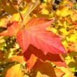 Stock Photo: Red leaf of viburnum in autumn. Macro