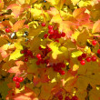 Stock Photo: Colors of autumn. Yellow and red leaves of viburnum