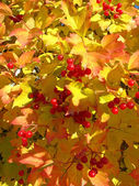 Colors of autumn. Yellow and red leaves of viburnum — Stock Photo