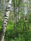 Mixed forest. Summer landscape — Stock Photo
