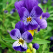 Stock Photo: Blue pansy flowers close up
