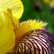 Close up of yellow iris stamen — Stock Photo