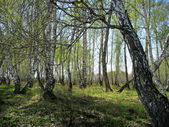Birch copse. Spring landscape — Stock Photo