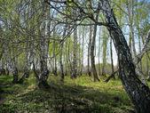 Birch copse. Spring landscape — Stock Photo