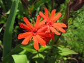 Red campion flower (Lychnis haageana) — Stock Photo