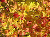 Colors of autumn. Yellow and red leaves of viburnum — Foto de Stock