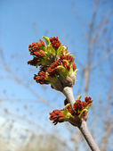 Red maple catkins against blue sky background — ストック写真